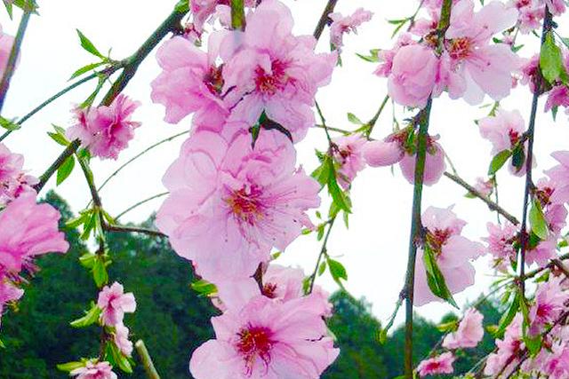 花梅・花桃・桜